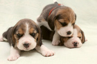 Facebook offers of pedigree puppies for cheap or free, are fake. Photo / Thinkstock