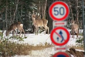 Deers standing behind road signs at Akan town in Japan's northern island of Hokkaido. Photo / AFP