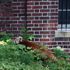 Animal keepers from the National Zoo captured the red panda, a male named Rusty, in a bush in a Washington neighbourhood. Photo / AP