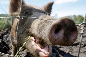 Richard Fisher has been descibed as a 'feral hog' in a interview. Photo / AP