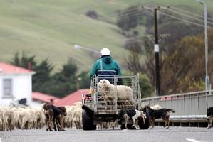 A quad bike rider drives a mob of sheep through Porangahau township the after local man Paul Ropiha died in a quad bike accident. Photo / Paul Taylor