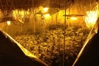 Police have uncovered a major cannabis cultivating operation in an Auckland industrial area and say the plants could have fetched up to $1 million.
