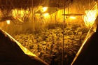 Police raided a property in Albany this morning where they found a cannabis growing operation with marijuana plants growing under lights. Photo / Brett Phibbs