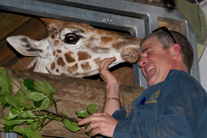 Nine-month-old giraffe, Fanana, is pleased to see Orana Park Wildlife Park head keeper, exotics, Rob Clifford after arriving on a truck at the Interislander terminal. Photo / Mark Mitchell