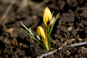 Weed around bulb shoots to reduce competition for nutrients and light.