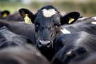Dairy prices are expected to fall as New Zealand production recovers from drought. Photo / Christine Cornege