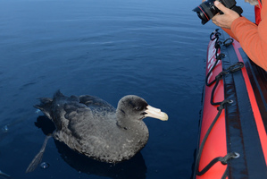 Orca Research Trust volunteer Walter Streit photographs the petrel which appeared to be in no hurry to seize its new freedom. Photo / Ingrid Visser