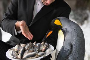 Waiter Darren Cross offers some fishy haute cuisine to a king penguin at Kelly Tarlton's. Photo / Greg Bowker