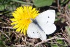 Great white cabbage butterfly.