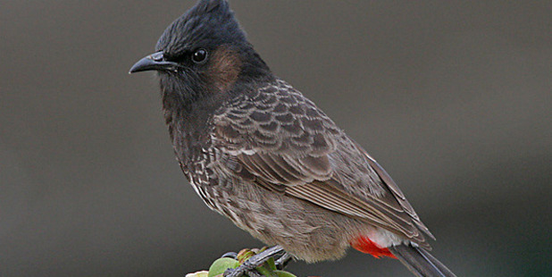 A red-vented bulbul.