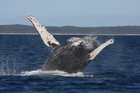 A breaching humpback whale in Queensland. Photo / Getty Images