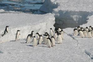Adelie penguins on Franklin Island in the Ross Sea. Photo / File / Andrew Balmein
