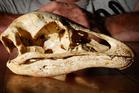 A moa skull discovered in the Waitomo area. Photo / Christine Cornege
