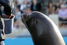 Makea, a California sea-lion. Photo / Glenn Taylor