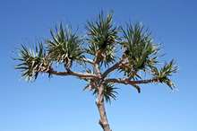 Cabbage trees are a coloniser species, providing a nursery for more vulnerable plants. Photo / Thinkstock
