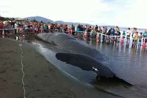 Beachgoers flock to see the dead sperm whale on Paraparaumu Beach. Photo / Rebecca Quilliam/APNZ