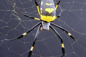 African golden orb web spiders are living the life of Riley in Professor Vollrath's Oxford University lab. Photo / Supplied
