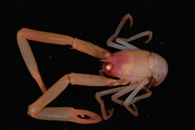 A Uroptychus squat lobster sampled from the Kermadec Trench last year. Photo / Supplied