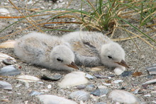 Mangawhai Heads is home to half of the breeding pairs in the fairy tern population of 43 birds in total. Photo / APN