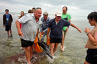DoC marine ranger Rod Hansen and helpers carry the mother dolphin to the open sea. Photo / Supplied
