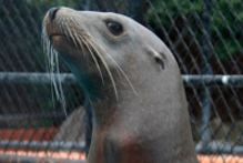 Sea lion Rufus died last year. Photo / Supplied