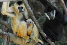 The baby is the first gibbon born at Bronx Zoo since 2000. Photo / Supplied