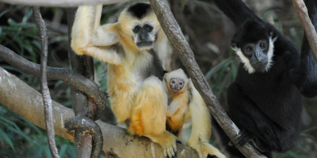 Loading The baby is the first gibbon born at Bronx Zoo since 2000. Photo / Supplied