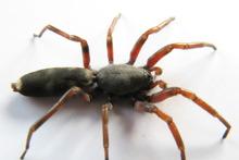 White tailed spider. Photo / John Borren