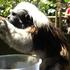 A cotton top tamarin snack on banana at Auckland Zoo. Photo / Hannah Sarney