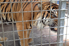 A tiger is encouraged into a safe area so the keepers and the