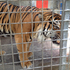 """A tiger is encouraged into a safe area so the keepers and """"Keeper for a Day"""" visitors can put enrichment food in the enclosures at Auckland Zoo. Photo / Hannah Sarney"""