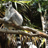 Well-fed ring-tailed lemurs at Auckland Zoo. Photo / Hannah Sarney
