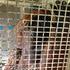 Isim the orangutan at Auckland Zoo. Photo / Hannah Sarney