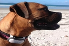 Susan Edmunds' rascally dog, Cheddar, models the Heyrex monitor.