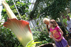 The Amorphophallus Titanum is one of the world's largest flowers.Photo / AP