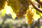 Chardonnay grapes before the harvester, Hawkes Bay. Photo / Warren Buckland