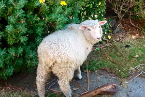 Larry the lamb was stolen, dumped and set on fire.