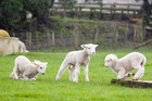 Lamb and beef imported from Australia will now be labelled as such. Photo / Paul Estcourt