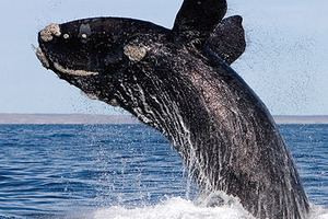 The Southern Right Whale.