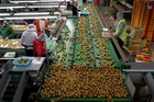 At present, New Zealand pays a 45 per cent tariff on exports of kiwifruit to South Korea. Photo / Alan Gibson