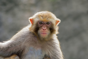 HIV vaccine trials on monkeys are expected to last two years. Photo / Thinkstock