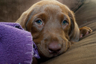 A purebred brown Labrador puppy - similar to this dog - was removed from his crate and slaughtered. File photo / Thinkstock