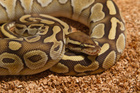 Two boys are dead after a python escaped from its enclosure. Photo / Thinkstock