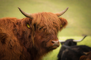 A highland bull has been violently slaughtered in Western Bay. Photo / Thinkstock