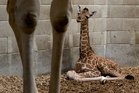 The 1.7m as-yet-unnamed giraffe was born on Saturday at 11.10am. Photo / Brett Phibbs