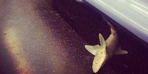 New York subway passengers spotted this shark in their train carriage.Photo / Isvette Verde, Instagram