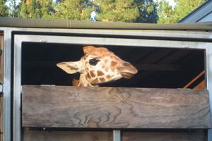 The arrival of Fanana signals a new era for Orana Wildlife Park.
