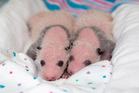 Twin newborn giant panda cubs lie in a blanket at Zoo Atlanta. Photo / AP