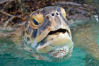 OD, a 320-pound green sea turtle lifts his head to breathe in a transition pool at the Florida Keys-based Turtle Hospital in Florida. Photo / AP