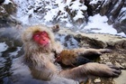 Myoko Kogen's snow monkeys keep warm in their own onsen (hot pool). Photo / Thinkstock